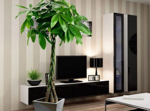 Pachira : une superbe plante d'intérieur